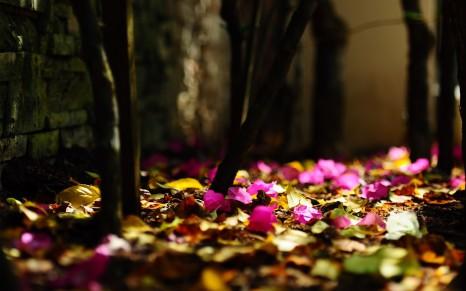 1866-Pink-Flowers-Fallen-(www.WallpaperMotion.com)