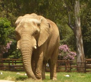elephant cc